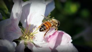 pollinisation croise pommier varietes