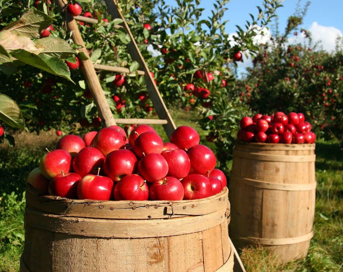 quand comment Recolter pommes