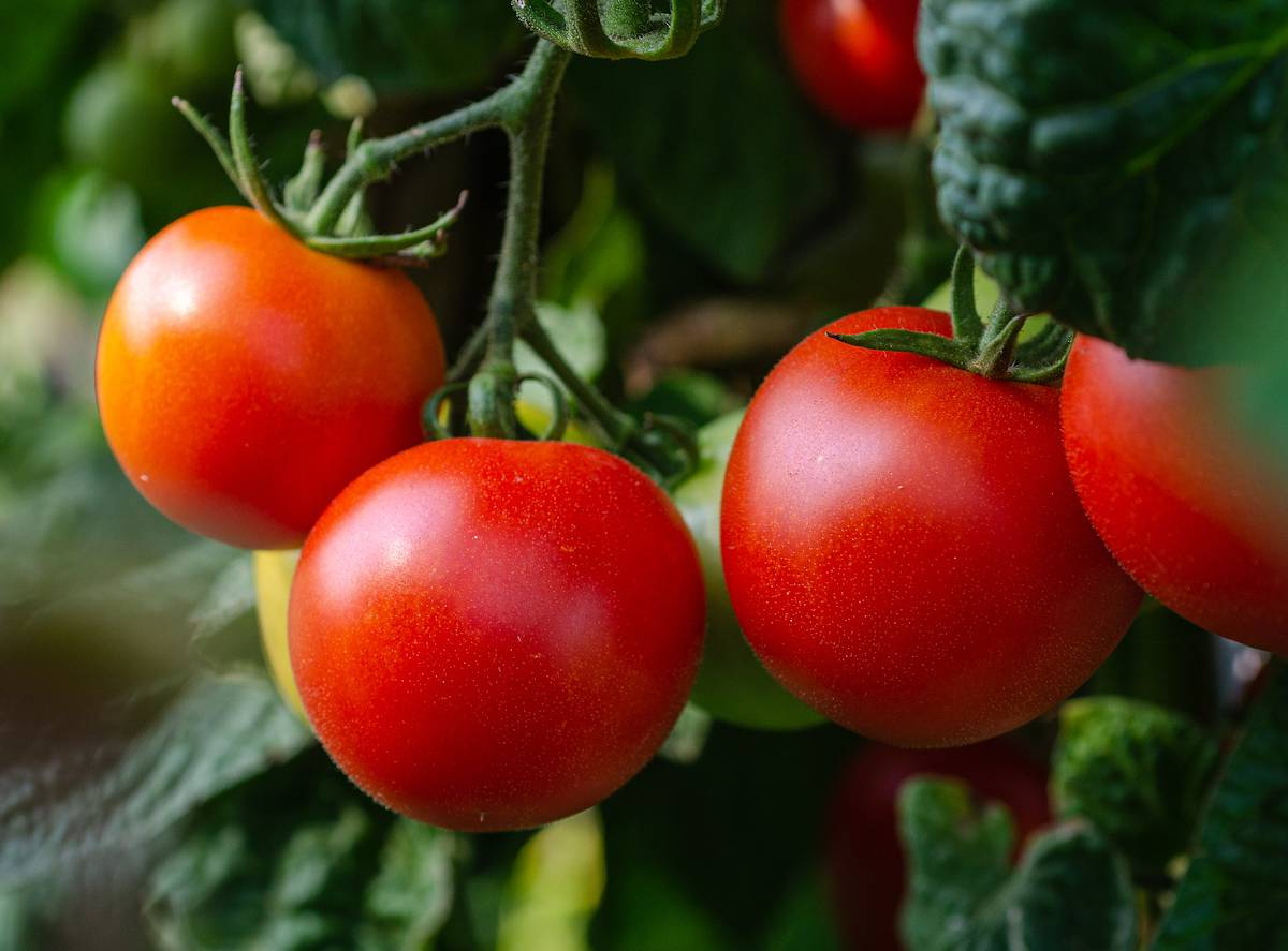 savoir quand Recolter tomate