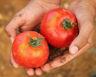 savoir quand une tomate est mure