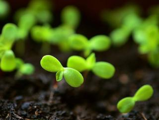 semis tomate a partir de graine