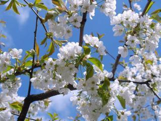 taille cerisier conseil