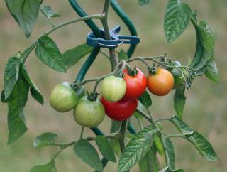 tailler effeuiller pour faire murir tomate verte