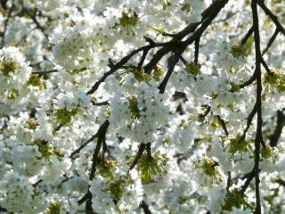 variete cerisier a fleurs