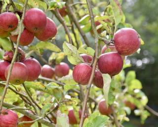 variete de pomme qui se conserve le mieux