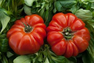 variete tomate pour recolte graine