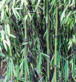 Bambou noir envahissant - Phyllostachys nigra