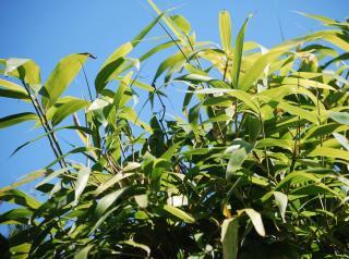 Bambou non tracant Fargesia