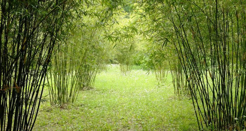 Bambou non tracant