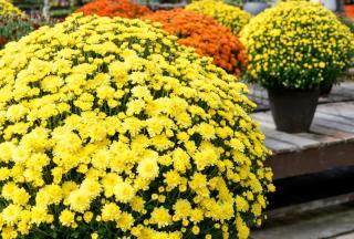 Chrysantheme toussaint