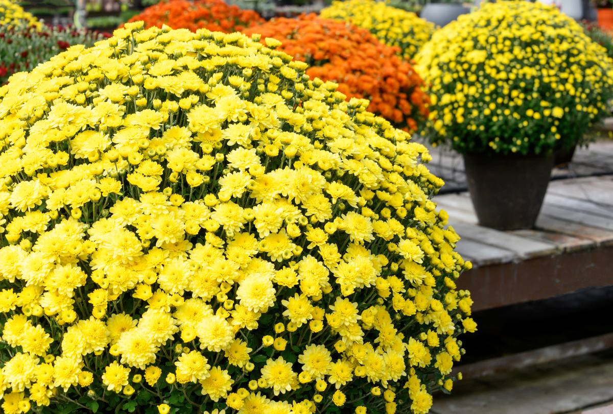Chrysanth me plantation culture et entretien des - Chrysantheme entretien ...