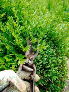 Entretien taille Chevrefeuille arbustif - lonicera nitida