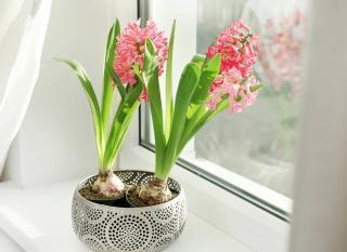 Jacinthe en pot interieur apres floraison