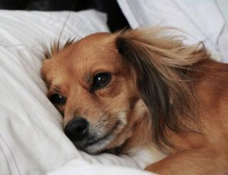 Perte appetit chien depressif depression