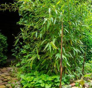 Phyllostachys bambou