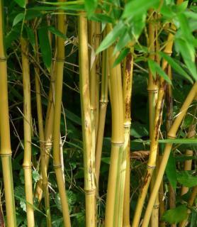 Phyllostachys varietes