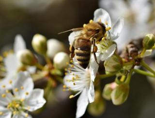 abeille qui butine pollen pollinisatrice