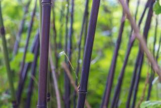 bambou canne tige noir