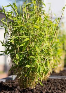 bambou fargesia en pot
