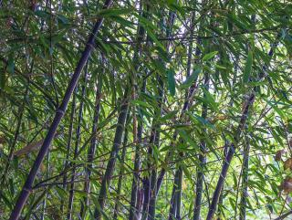 bambou noir - Phyllostachys nigra