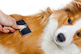 brossage chien qui perd poil solution