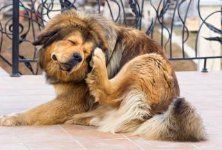 chien qui se gratte perd ses poils