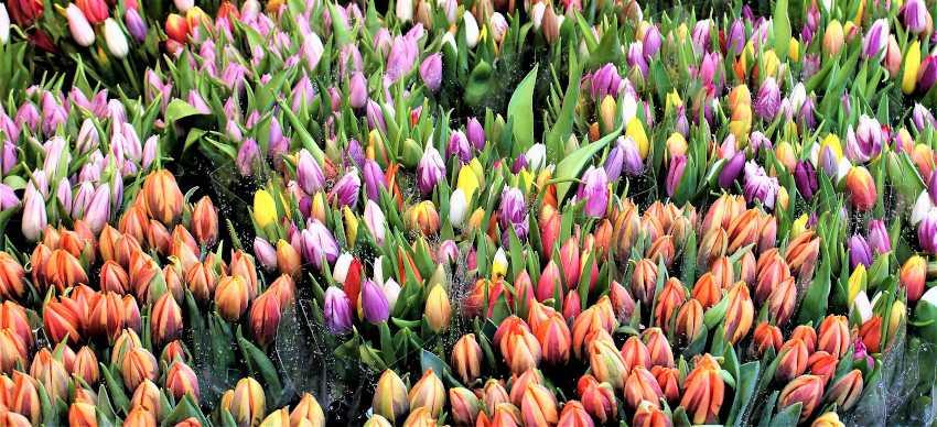 choisir bouquet tulipe pour prolonger floraison