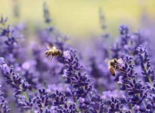 comment attirer les abeilles plants fleurs