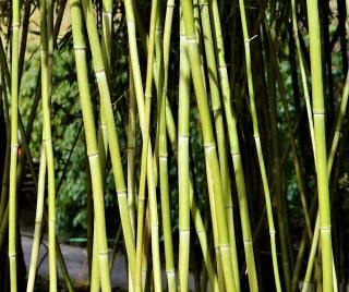 entretien taille bambou hauteur
