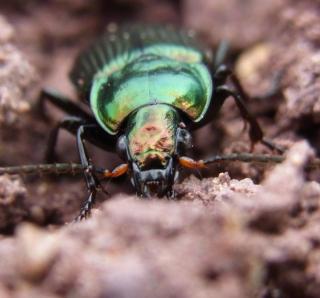 photo de carabe insecte noir avec pince jardin