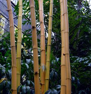 precaution plantation bambou