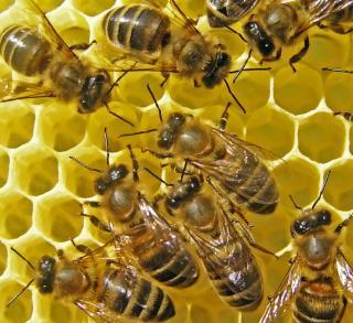 reconnaitre abeille