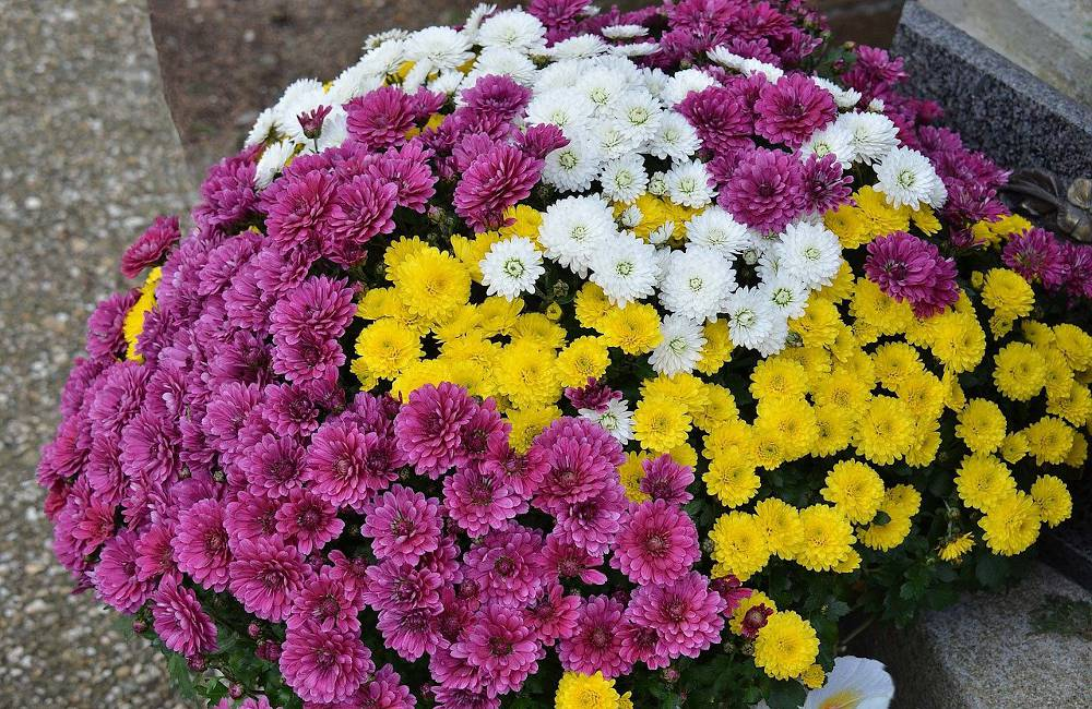 toussaint-signification chrysantheme