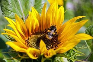 utilite bourdon pollinisation
