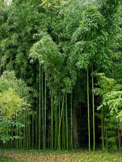 variete de bambou a croissance rapide haut
