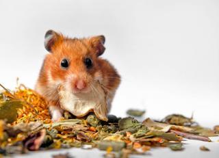 Alimentation hamster doré