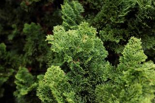 Chamaecyparis obtusa - faux cypres du japon - Hinoki