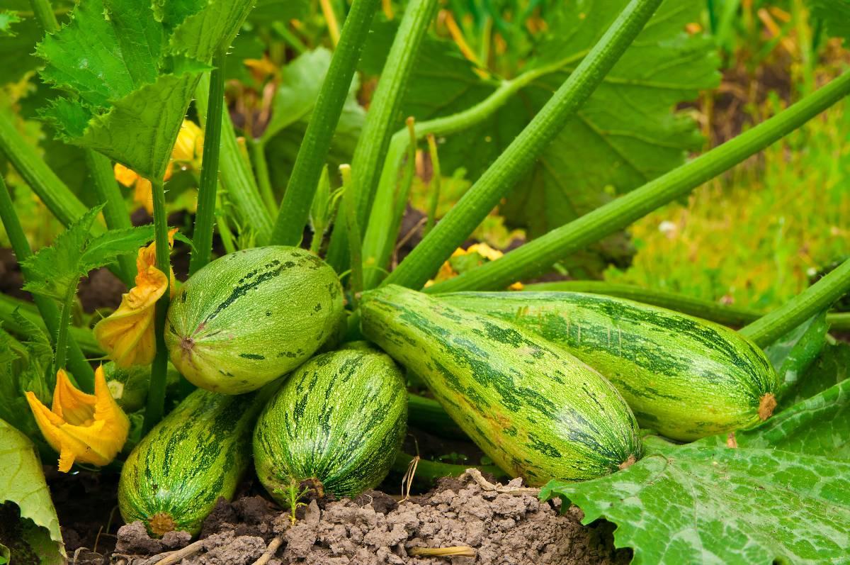 Courgette plantation semis