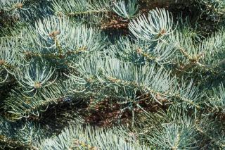 Feuillage epine feuille Plantation Sapin du Colorado - Abies concolor