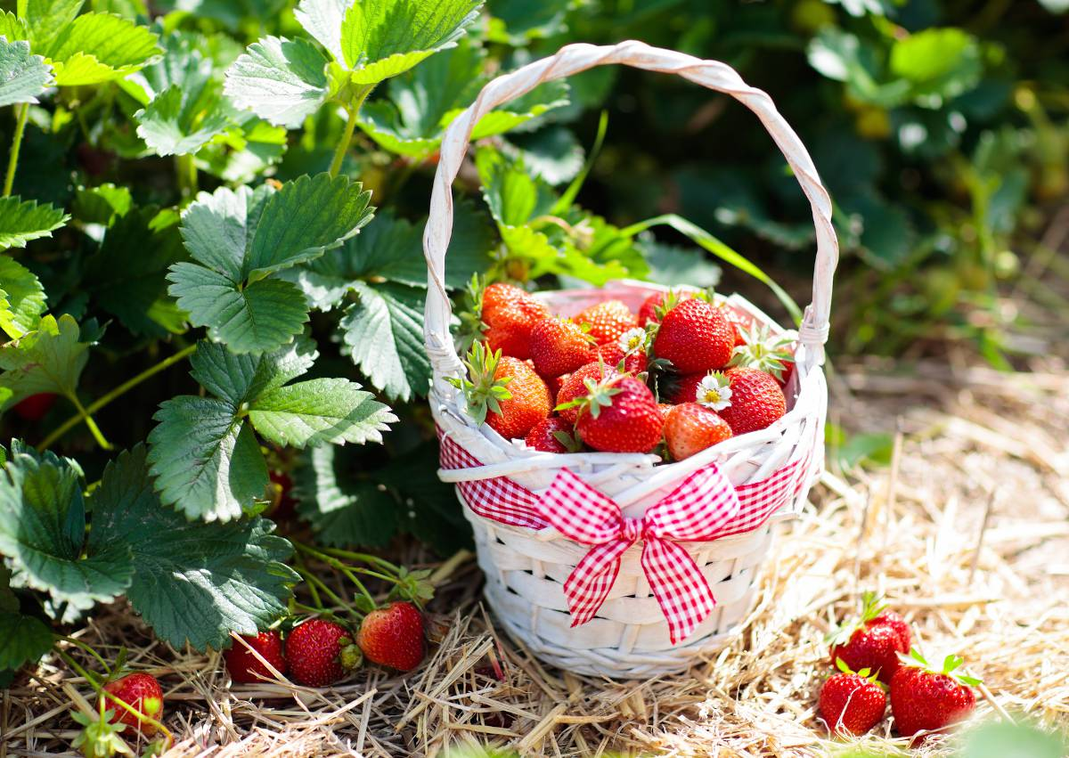 Fraisier variete fraise