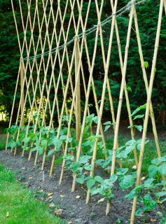Haricot d'espagne - Phaseolus coccineus - Plantation - Semis