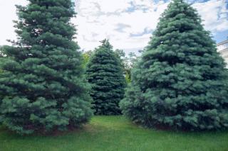 Plantation Sapin du Colorado - Abies concolor