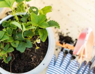 Plantation fraisier en pot