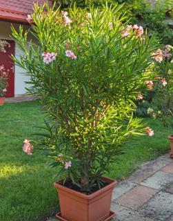 Planter un Laurier rose en pot