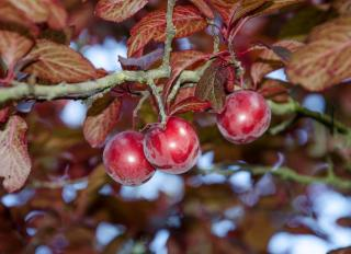Prunus cerasifera 'Pissardii' - Prunier Cerise - fruits