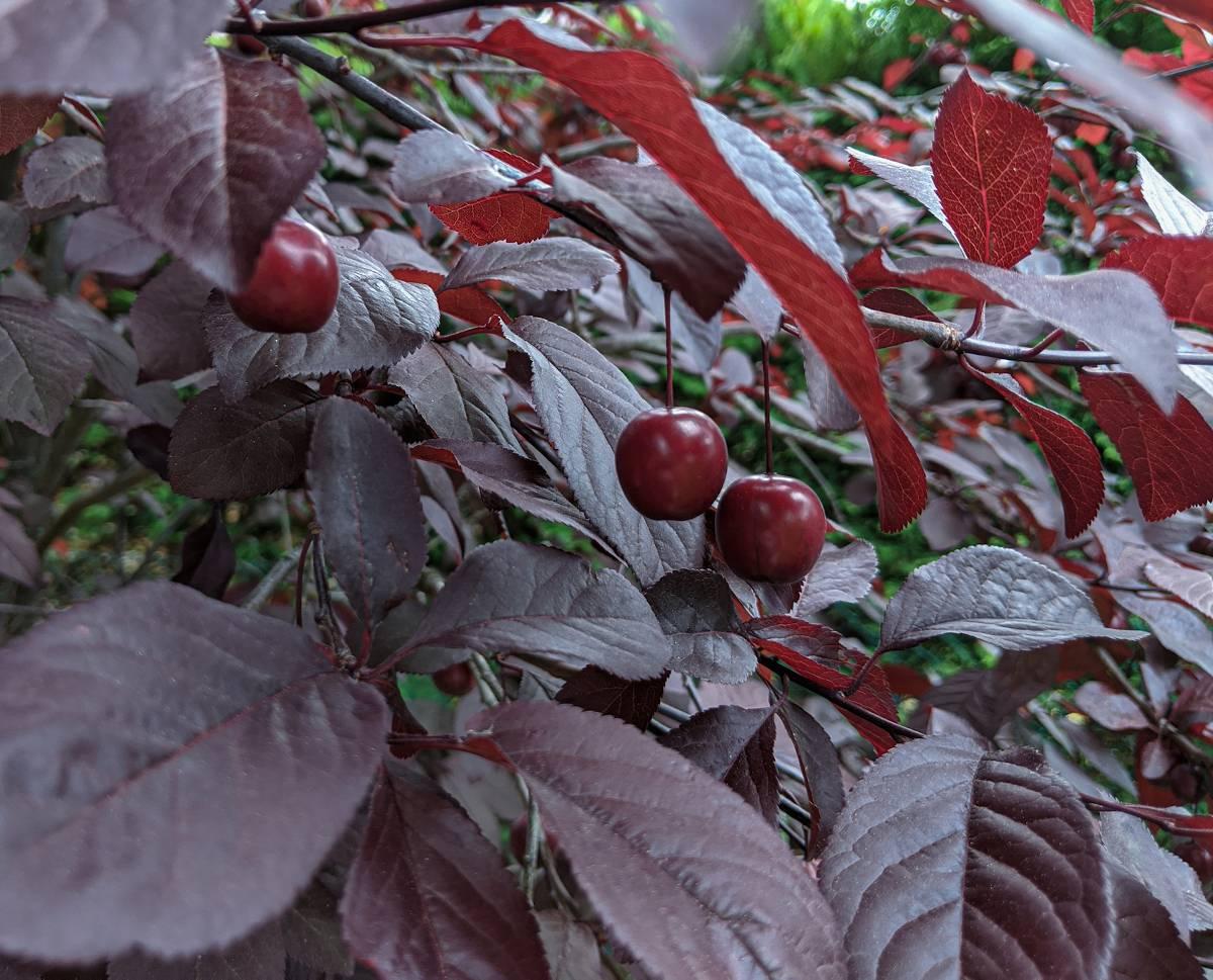Prunus cerasifera 'Pissardii' - Prunier Cerise