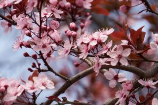 Prunus cerasifera Pissardii fleur floraison