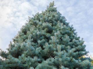 Sapin du Colorado - Abies concolor