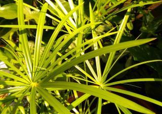 Souchet comestible culture - Cyperus esculentus