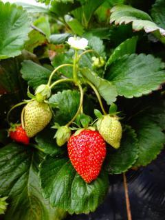 Variete fraise anais fraisier